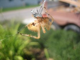 Picture of Araneus spp. (Angulate & Round-shouldered Orb-weavers) - Female - Ventral,Webs,Prey