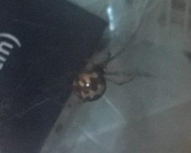 Picture of Steatoda triangulosa (Triangulate Cobweb Spider) - Lateral