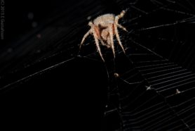 Picture of Neoscona crucifera (Hentz Orb-weaver) - Eyes,Webs