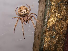 Picture of Larinioides sclopetarius (Bridge Orb-weaver) - Female - Dorsal,Webs