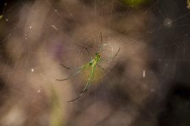 Picture of Leucauge argyrobapta (Mabel Orchard Orb-weaver) - Ventral,Webs