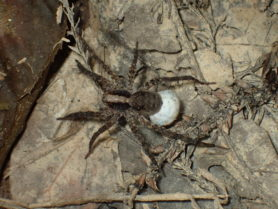 Picture of Schizocosa spp. (Lanceolate Wolf Spiders) - Female - Dorsal,Egg sacs