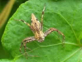 Picture of Oxyopidae (Lynx Spiders) - Dorsal