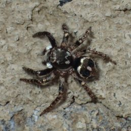Featured spider picture of Anasaitis canosa (Twin-flagged Jumping Spider)