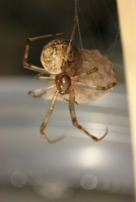 Picture of Parasteatoda tepidariorum (Common House Spider) - Female - Egg Sacs,Lateral