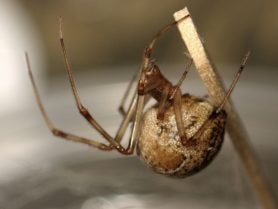 Picture of Parasteatoda tepidariorum (Common House Spider) - Female - Gravid,Lateral