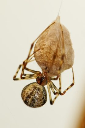 Picture of Parasteatoda tepidariorum (Common House Spider) - Female - Egg Sacs