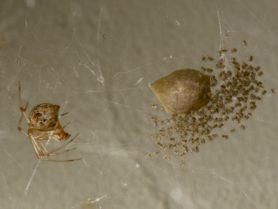 Picture of Parasteatoda tepidariorum (Common House Spider) - Female - Egg Sacs,Lateral,Spiderlings,Webs
