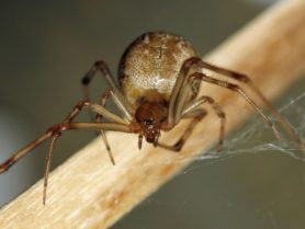Picture of Parasteatoda tepidariorum (Common House Spider) - Female - Eyes,Gravid