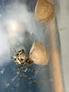 Picture of Parasteatoda tepidariorum (Common House Spider) - Female - Egg Sacs,Gravid,Lateral