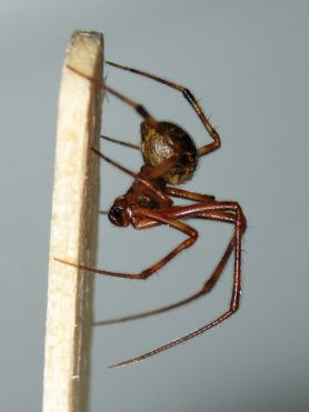 Picture of Parasteatoda tepidariorum (Common House Spider) - Male - Lateral