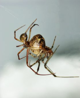Picture of Parasteatoda tepidariorum (Common House Spider) - Male,Female - Lateral,Ventral