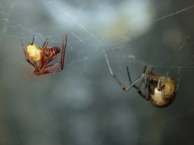 Picture of Parasteatoda tepidariorum (Common House Spider) - Male,Female - Lateral