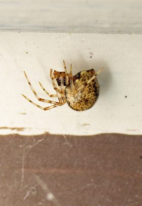 Picture of Parasteatoda tepidariorum (Common House Spider) - Female - Lateral