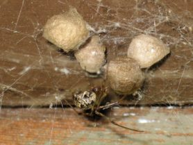 Picture of Parasteatoda tepidariorum (Common House Spider) - Female - Egg Sacs,Lateral,Webs