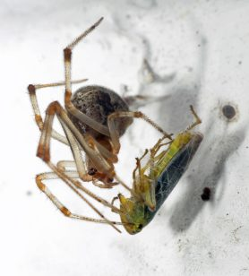 Picture of Parasteatoda tepidariorum (Common House Spider) - Female - Lateral,Prey