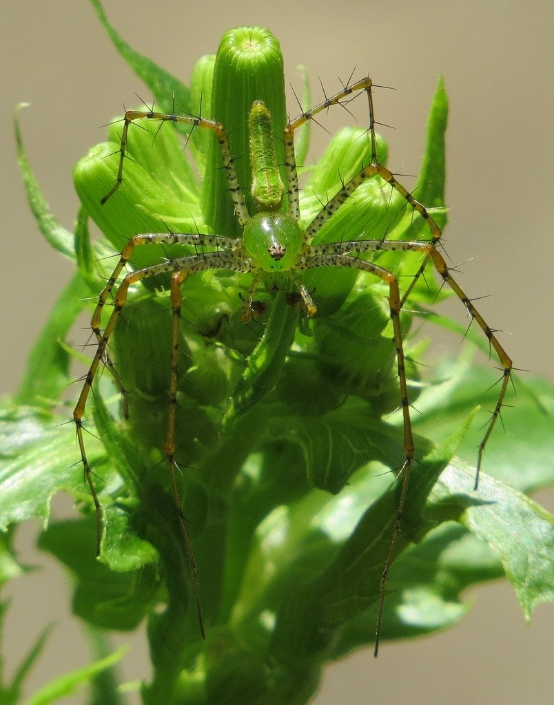 Picture of Peucetia viridans (Green Lynx Spider) - Male - Dorsal