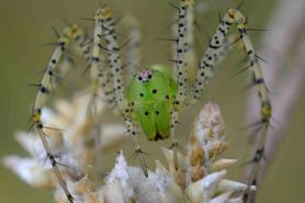 Picture of Peucetia viridans (Green Lynx Spider) - Female - Eyes