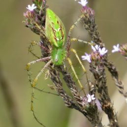 Featured spider picture of Peucetia viridans (Green Lynx Spider)
