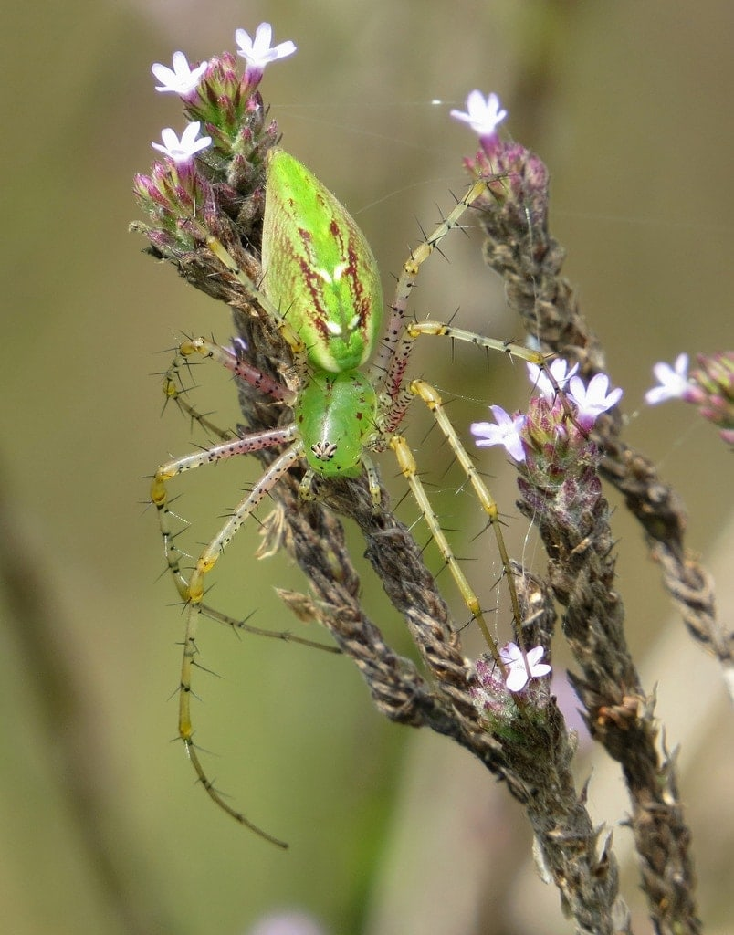 Picture of Peucetia viridans (Green Lynx Spider) - Female - Dorsal