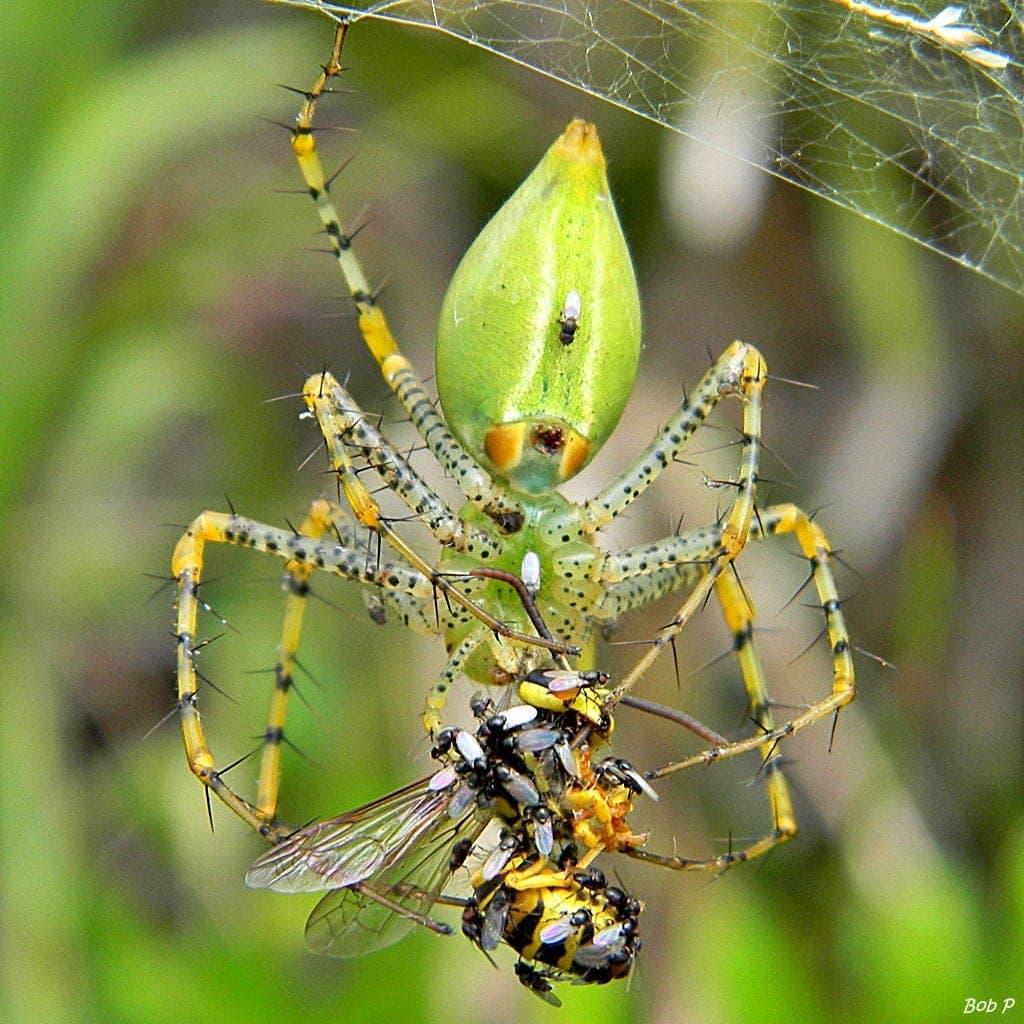 Picture of Peucetia viridans (Green Lynx Spider) - Female - Ventral,Prey