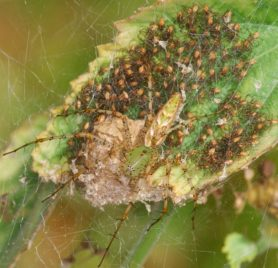 Picture of Peucetia viridans (Green Lynx Spider) - Female - Dorsal,Egg Sacs,Spiderlings