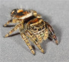 Picture of Phidippus audax (Bold Jumper) - Female