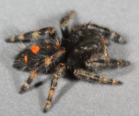 Picture of Phidippus audax (Bold Jumper) - Female - Lateral