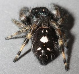Picture of Phidippus audax (Bold Jumper) - Female - Dorsal