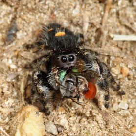 Picture of Phidippus audax (Bold Jumper) - Female - Eyes,Prey