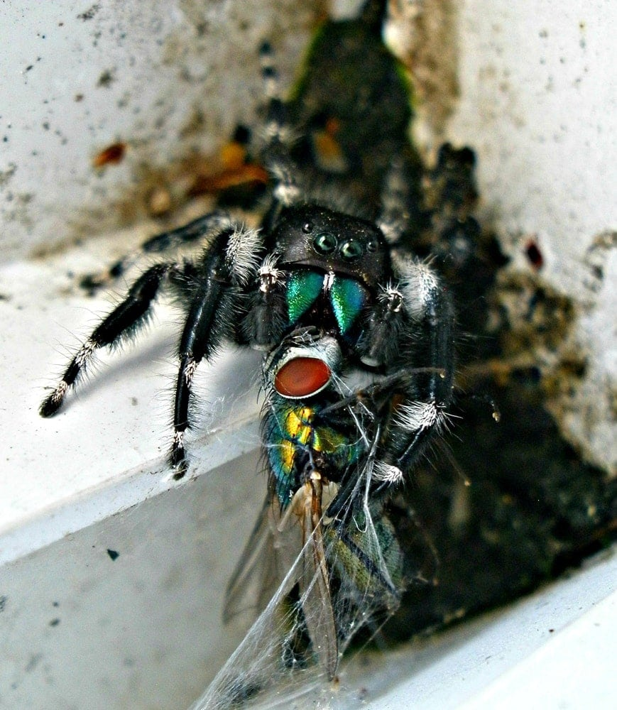 Picture of Phidippus audax (Bold Jumper) - Male - Eyes,Prey