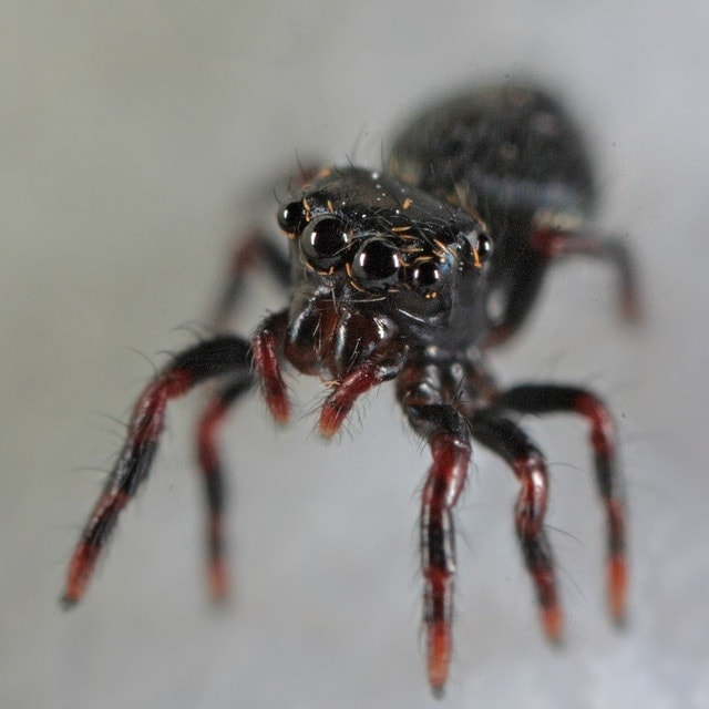 Picture of Phidippus audax (Bold Jumper) - Eyes,Spiderlings