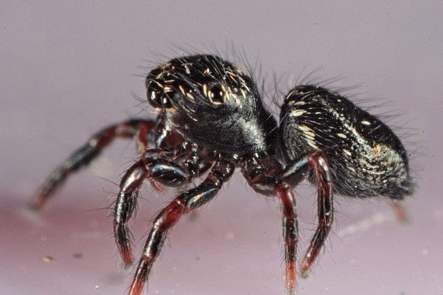 Picture of Phidippus audax (Bold Jumper) - Lateral,Spiderlings