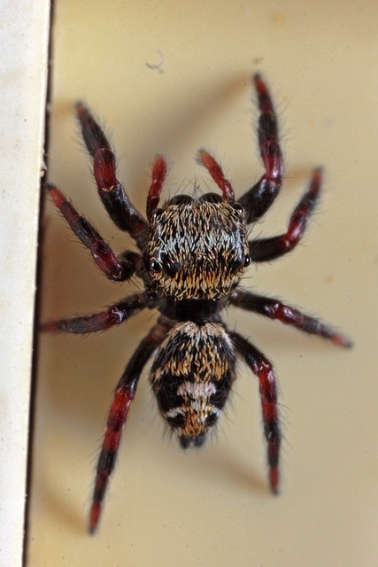 Picture of Phidippus audax (Bold Jumper) - Dorsal,Spiderlings