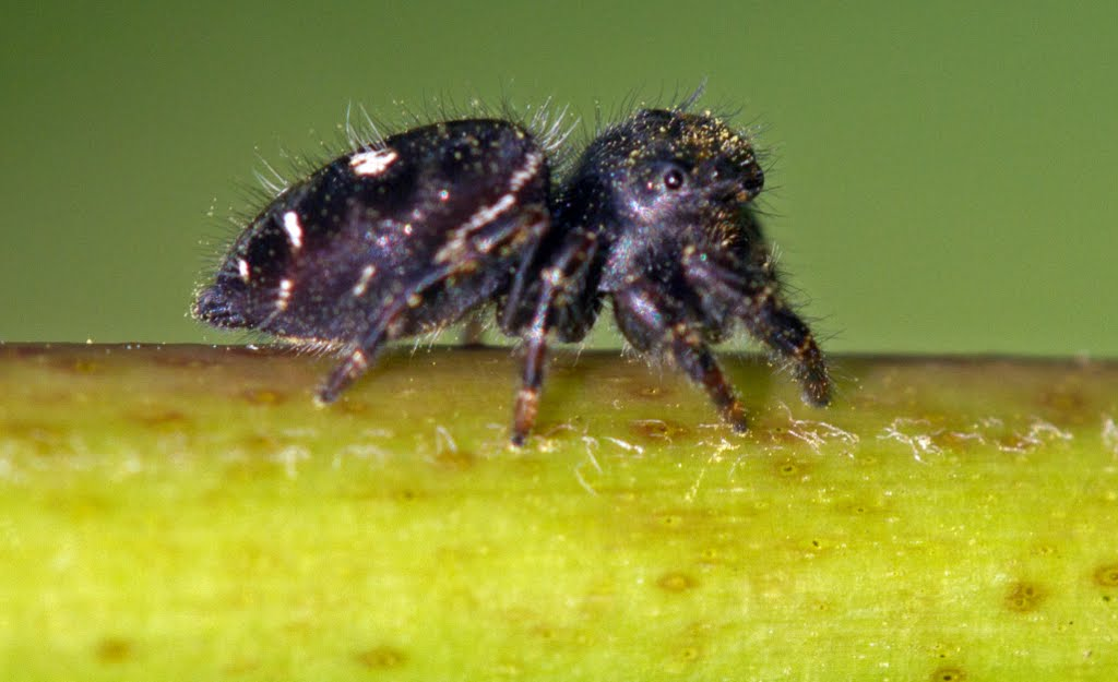 Picture of Phidippus audax (Bold Jumper) - Lateral