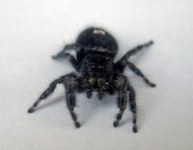Picture of Phidippus audax (Bold Jumper) - Female - Eyes