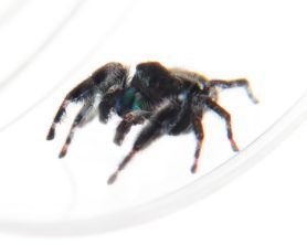Picture of Phidippus audax (Bold Jumper) - Male