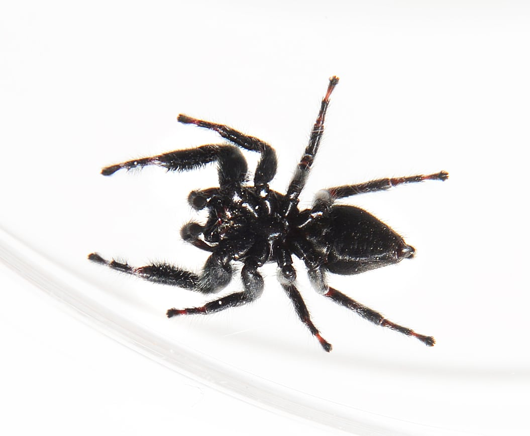 Picture of Phidippus audax (Bold Jumper) - Male - Ventral