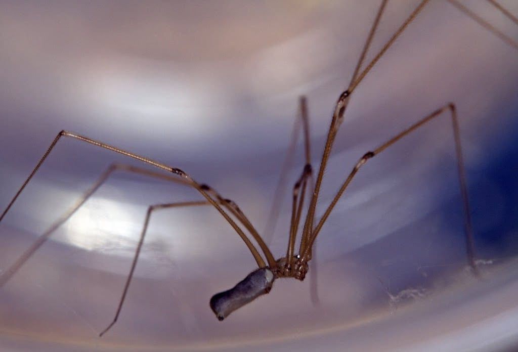 Picture of Pholcus phalangioides (Long-bodied Cellar Spider) - Female - Lateral