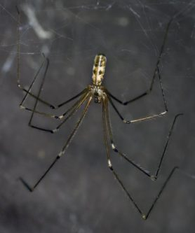 Picture of Pholcus phalangioides (Long-bodied Cellar Spider) - Male - Dorsal,Webs