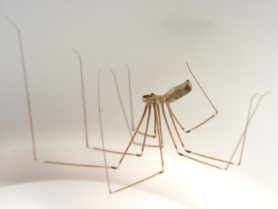 Picture of Pholcus phalangioides (Long-bodied Cellar Spider) - Male - Lateral