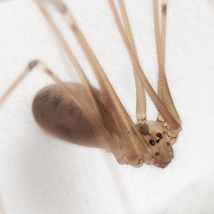 Picture of Pholcus phalangioides (Long-bodied Cellar Spider) - Female - Eyes