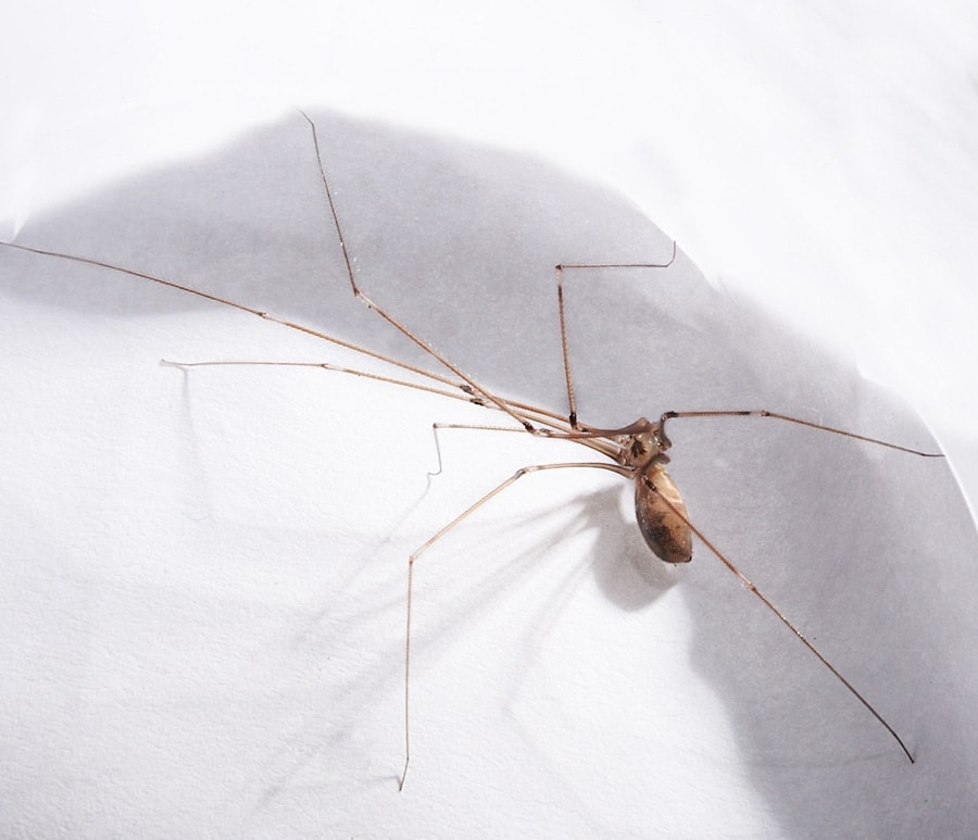 Picture of Pholcus phalangioides (Long-bodied Cellar Spider) - Female