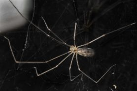 Picture of Pholcus phalangioides (Long-bodied Cellar Spider) - Female - Dorsal
