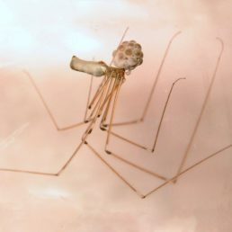 Featured spider picture of Pholcus phalangioides (Long-bodied Cellar Spider)