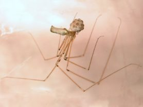 Picture of Pholcus phalangioides (Long-bodied Cellar Spider) - Female - Egg Sacs,Lateral