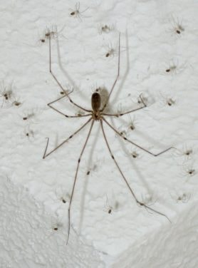 Picture of Pholcus phalangioides (Long-bodied Cellar Spider) - Female - Dorsal,Spiderlings