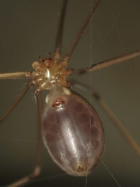 Picture of Pholcus phalangioides (Long-bodied Cellar Spider) - Female - Gravid,Ventral