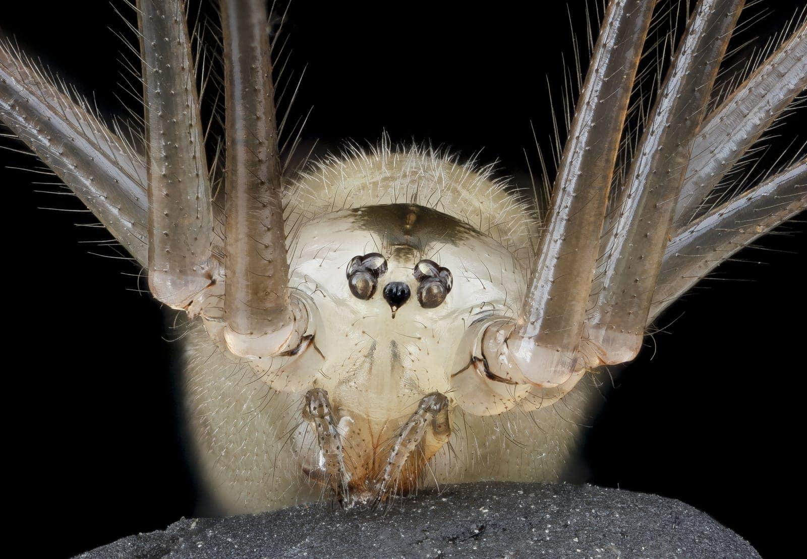 Picture of Pholcus phalangioides (Long-bodied Cellar Spider) - Female - Eyes,Gravid