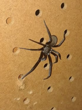 Picture of Kukulcania hibernalis (Southern House Spider) - Dorsal